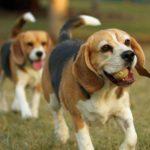 Бигль — маленькая порода собак