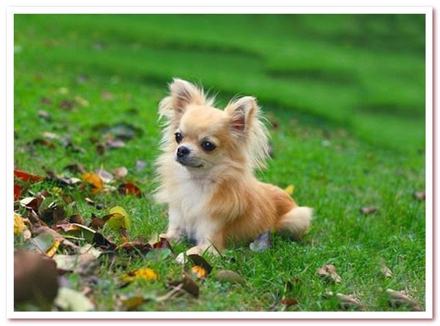 Чихуахуа. Популярная порода собак