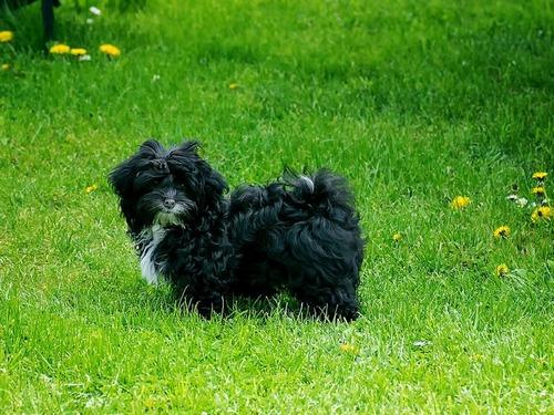 Цветная болонка — русская собака