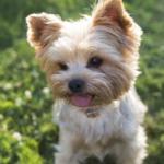 Йоркширский терьер. Модная порода собак