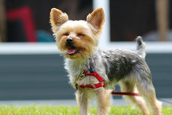 Йоркширский терьер. Модная порода собак. Добрый характер