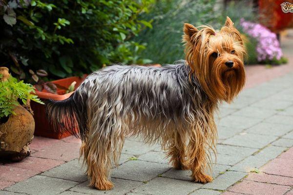 Йоркширский терьер. Модная порода собак. Забота и уход