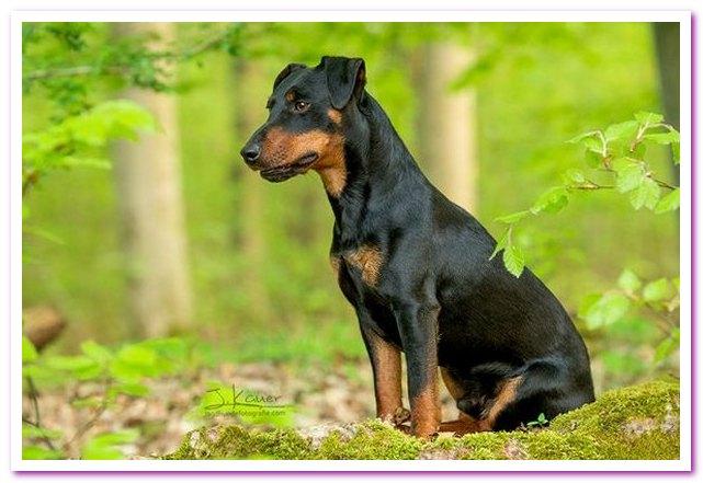 Немецкий ягдтерьер. Охотничья собака