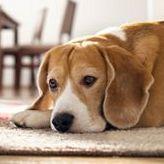 Самые маленькие породы собак. Бигль