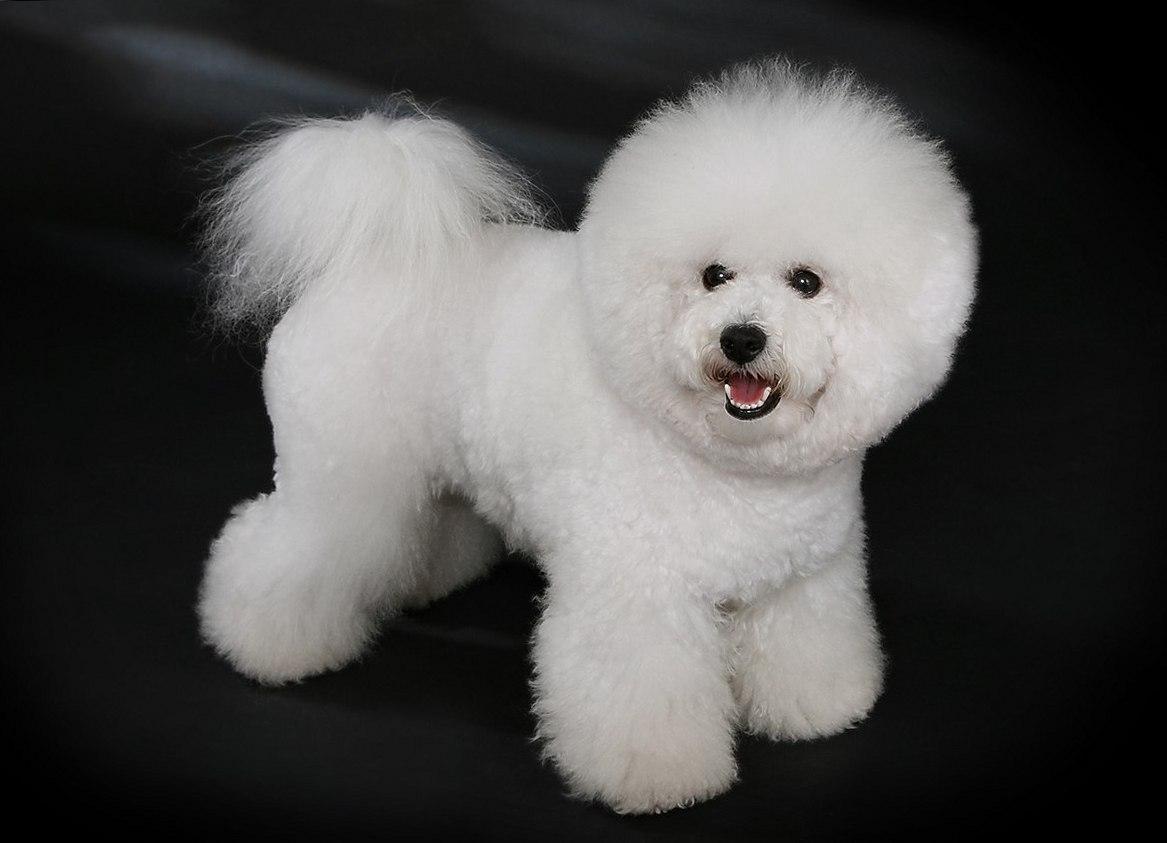 Самые маленькие породы собак. Бишон фризе