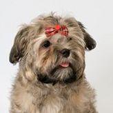 Самые маленькие породы собак. Цветная болонка