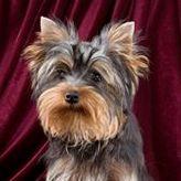 Самые маленькие породы собак. Йоркширский терьер