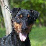 Самые маленькие породы собак. Немецкий ягдтерьер
