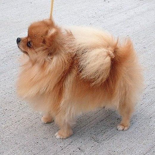 Самые маленькие породы собак. Померанский шпиц