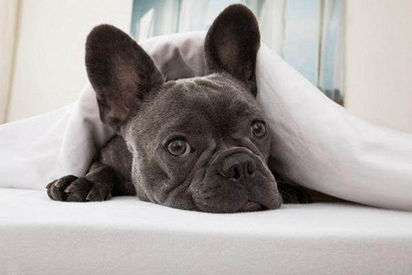 Французский бульдог как все породистые собаки склонен к заболеваниям