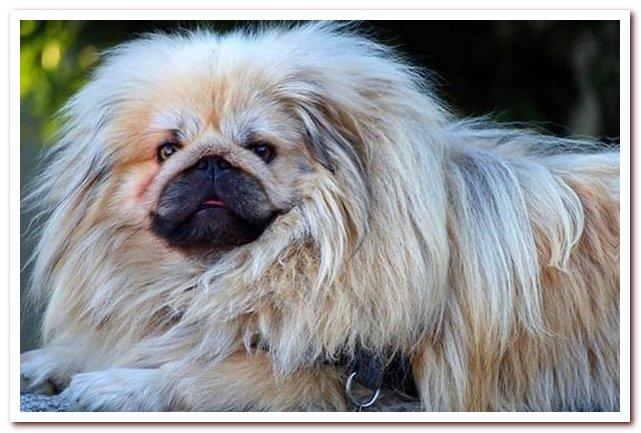 Пекинес. Портрет бойкой дворцовой собаки