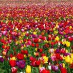 """<span class=""""title"""">Голландские тюльпаны и тюльпановая лихорадка</span>"""