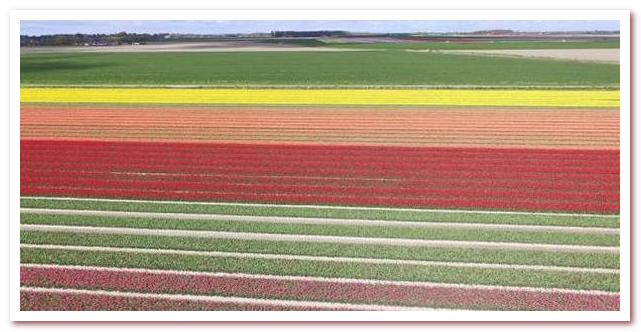 Голландские тюльпаны промышленное производство