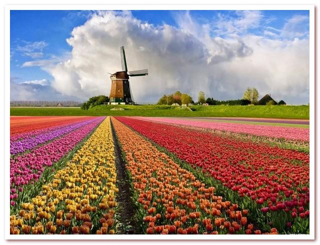 Голландские тюльпаны символ Нидерландов