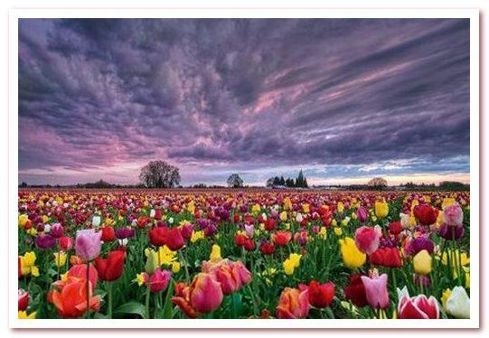 Голландские тюльпаны символ страны