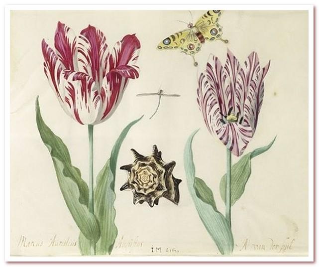 Голландские тюльпаны. Два тюльпана, ракушка, бабочка и стрекоза, лист в Книге тюльпанов Джейкоба Марреля, 1637-1645 гг.