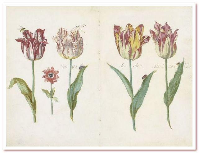 Голландские тюльпаны. Лист из тюльпановой книги, Джейкоб Маррель, ок. 1640 г.