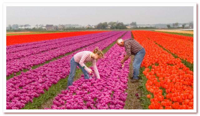 Голландские тюльпаны. Современное производство