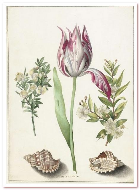 Голландские тюльпаны. Тюльпан, две ветки мирта и две ракушки. Мария Сибилла Мериан, ок. 1660-1700 гг.