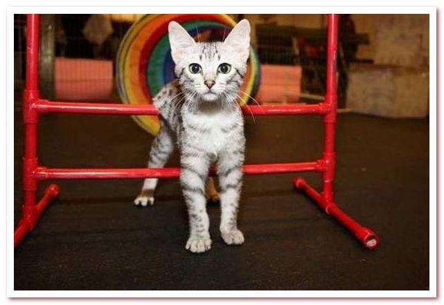 Ловкость кошек Cat Agility