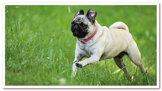 Мопс: популярная порода собак