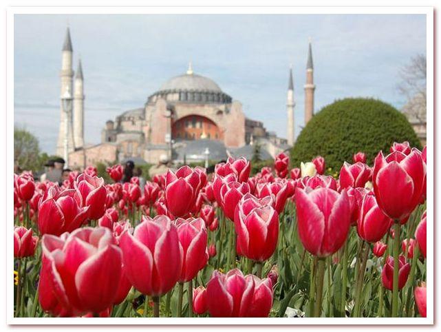 Тюльпан в современной Турции