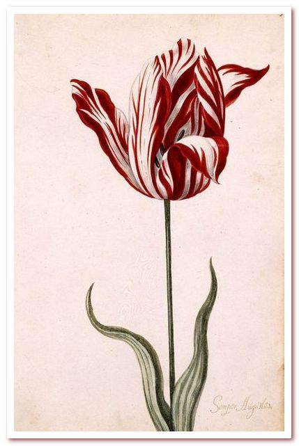 Тюльпановая лихорадка. Semper Augustus