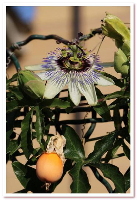 Масло для волос. Цветок и фрукты маракуйи